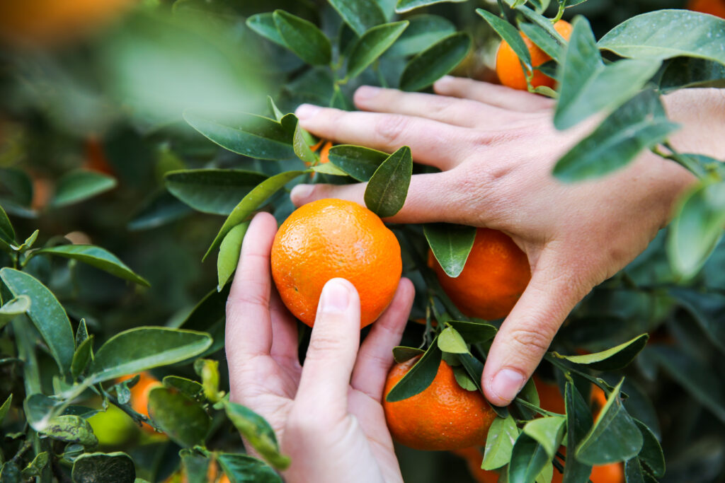 delicious oranges or ugly produce?
