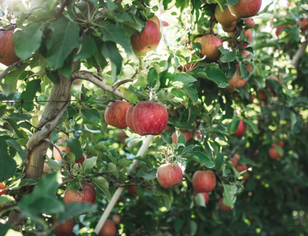 Apeel Apples