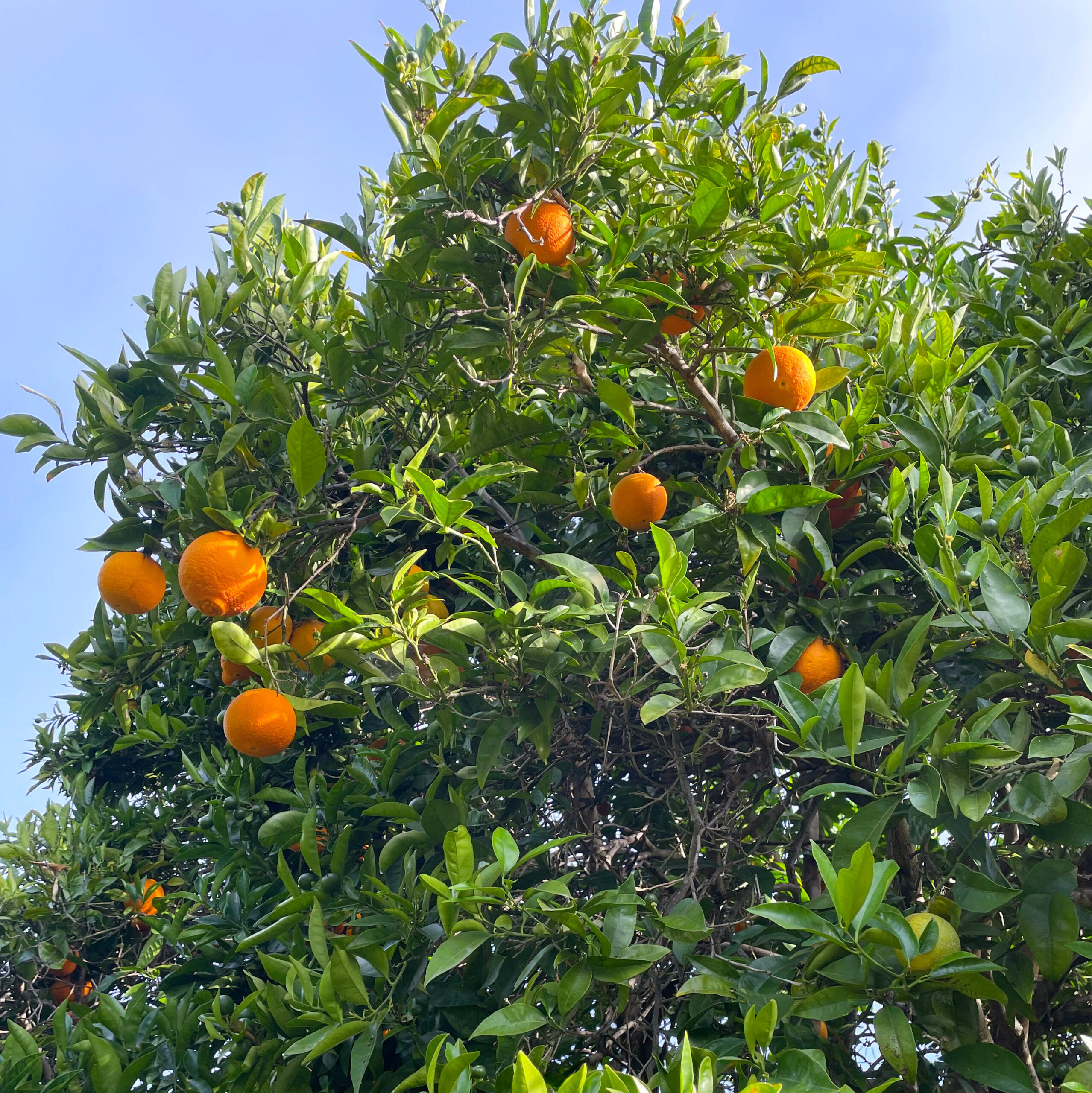 Navel oranges at Stepladder Ranch and Creamery.